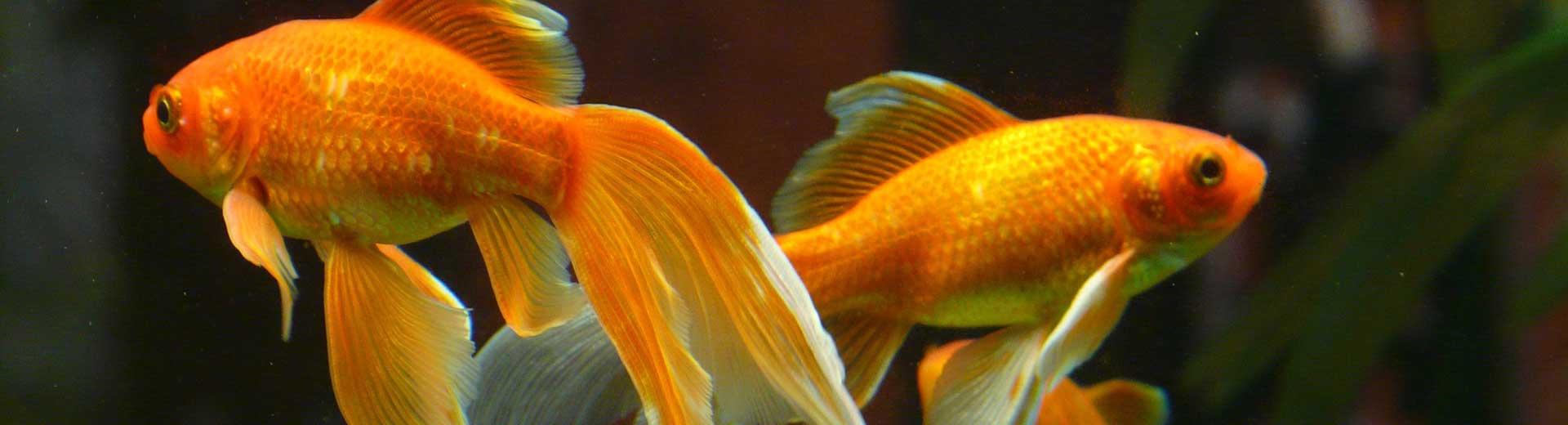 Andere dieren - goudvis