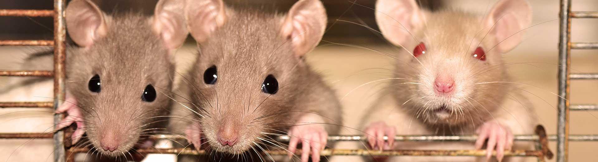 Andere dieren - rat